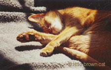 Killian, my Abyssinian cat